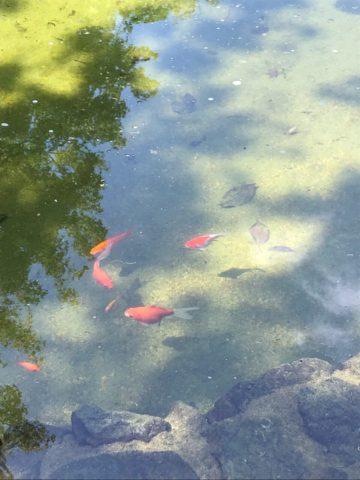 公園の池の金魚