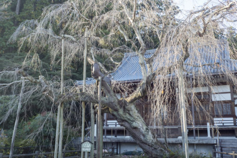 太平山 秋のしだれ桜