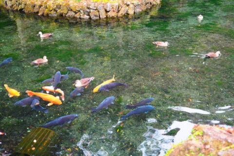 出流原弁財天池の鯉と鴨