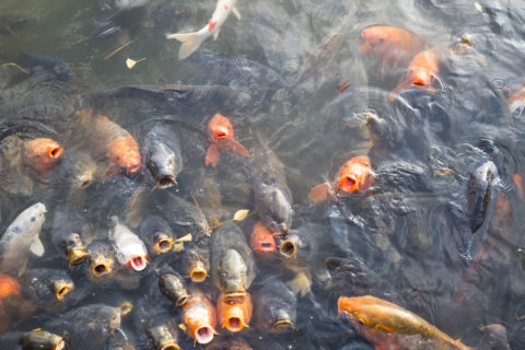 フィッシングフラワーパークの鯉
