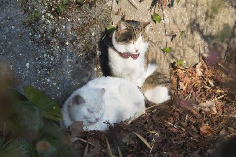 寝てる白猫と白キジトラ