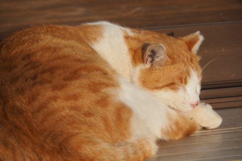 寝てる白三毛猫