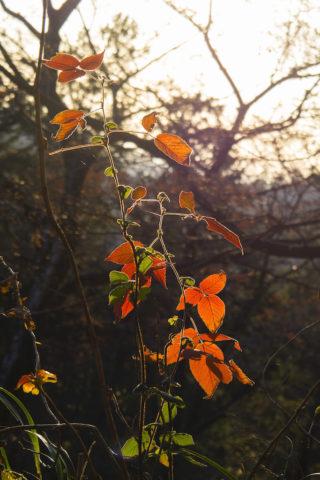 夕日に染まる葉っぱ