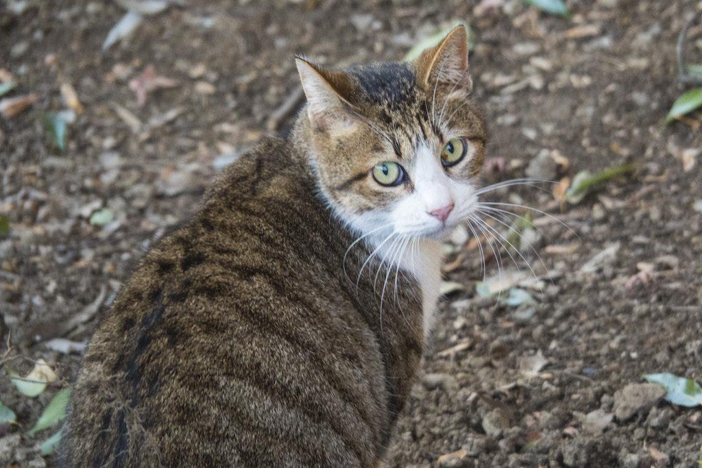 振り返り美人な猫