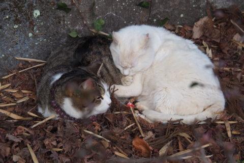 寝てる白猫と白キジトラ2