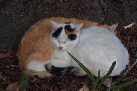 寝てる白三毛と白トラ猫