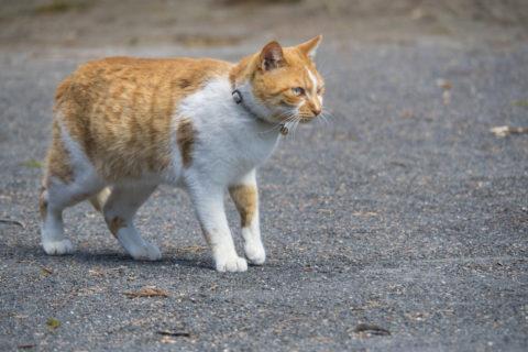 歩く白トラ猫