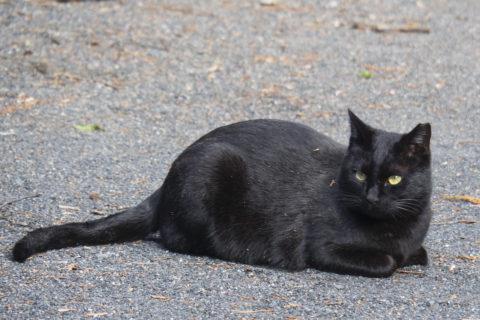 美人な黒猫