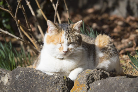 寝てる三毛猫
