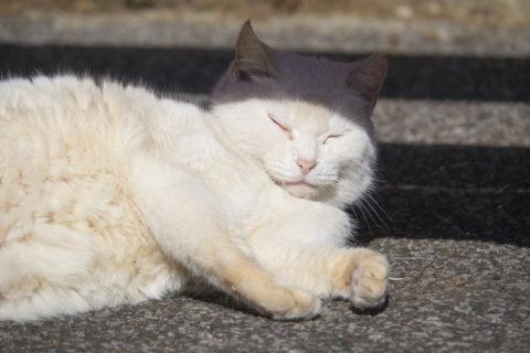 寝てる白猫
