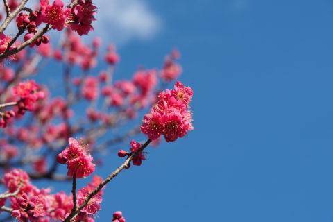 梅林公園の紅梅
