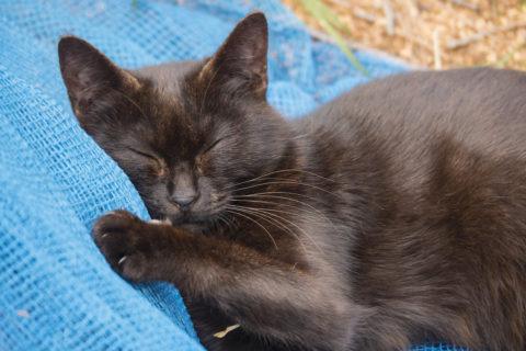 人みたいに寝る猫のアップ