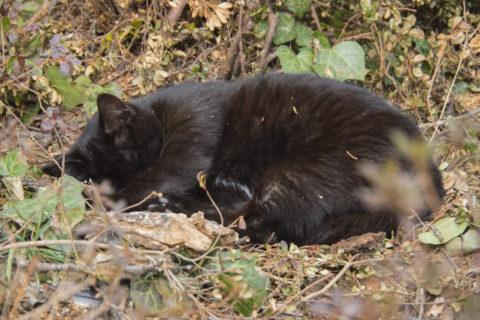 丸まって寝る黒猫