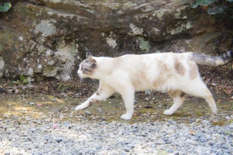 淡いキジトラ白猫