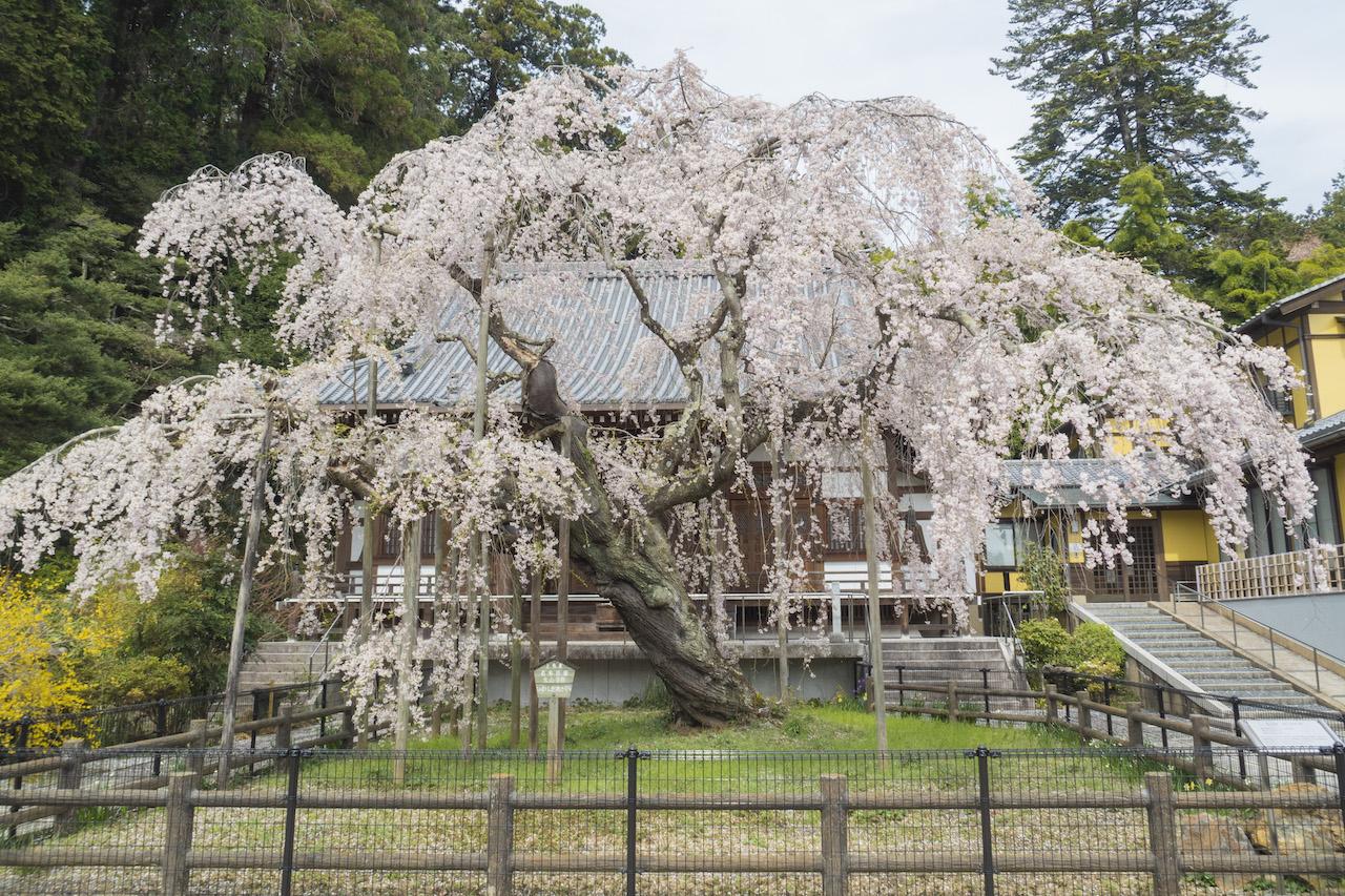 太山寺のいわしだれざくら