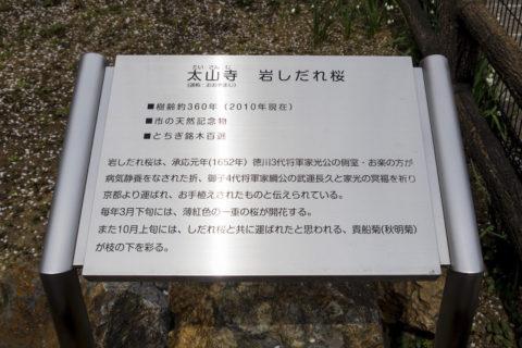 徳川家から贈られた岩しだれ桜