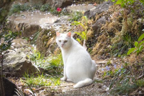 振り返る美人な猫
