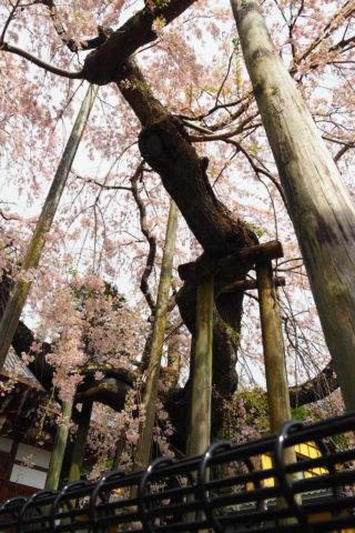 下から見る枝垂れ桜