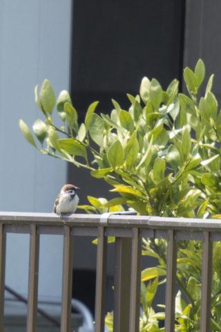 柵に止まる雀