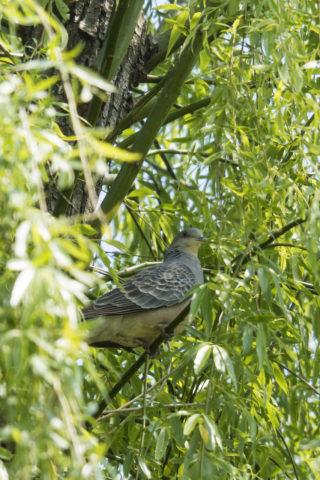 木の中の鳩