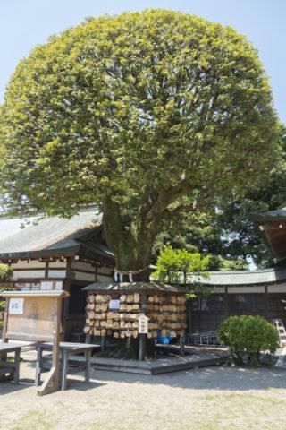 織姫神社の御神木