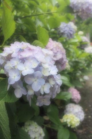 淡い色の紫陽花