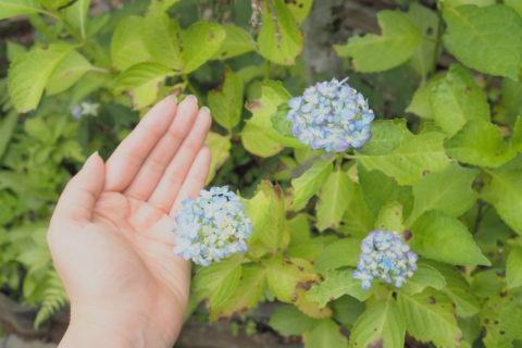 小さい紫陽花