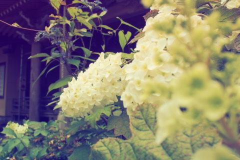 白い紫陽花の向こうに六角堂