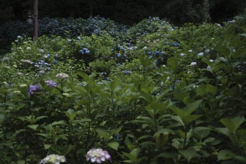 仄暗い紫陽花
