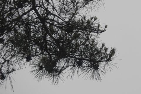 松に隠れる鳥