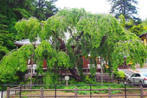 太平寺の枝垂れ桜