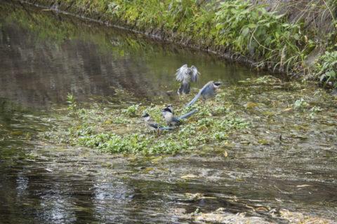川に集まるオナガ