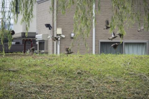 飛び立つムクドリの群れ
