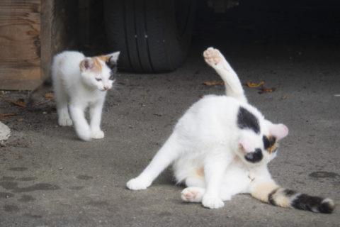 似てる三毛猫。親子?