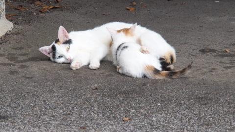 授乳中の三毛猫親子