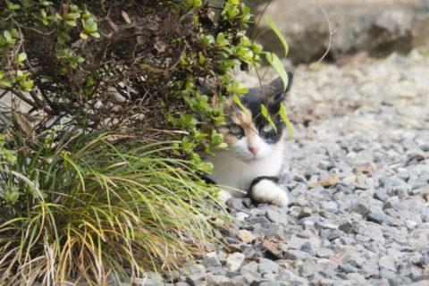 草むらからこっちを見る猫