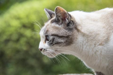横顔美人猫