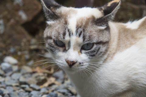 淡い白トラ猫