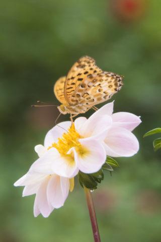 ダリアと蝶々
