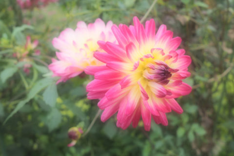 カクタス咲きのダリア