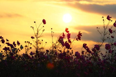 夕陽に照らされるコスモスのシルエット