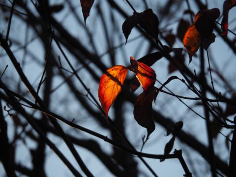 逆光の紅葉