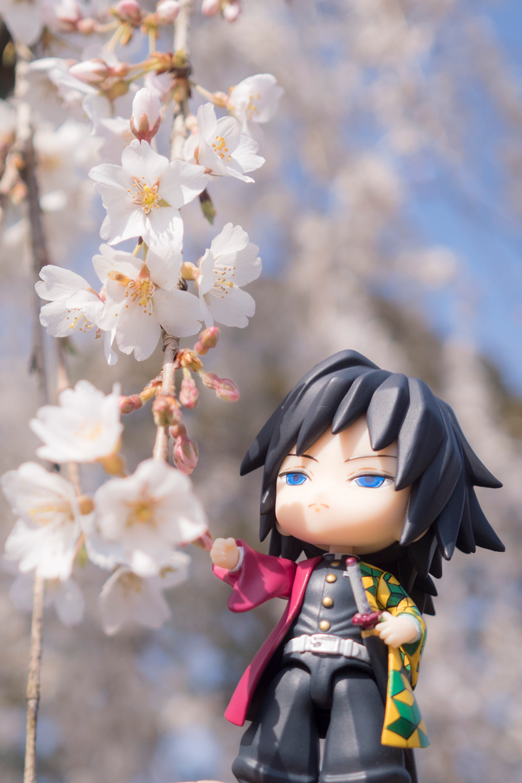 桜と義勇さん