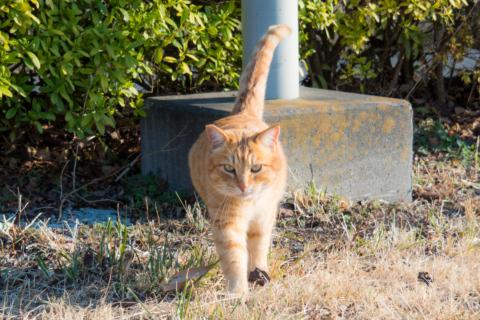 つつじが岡公園のトラ猫