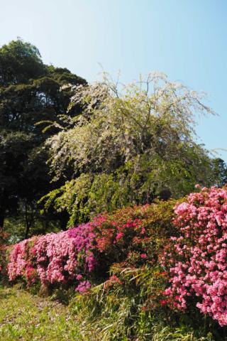 ツツジと枝垂れ桜