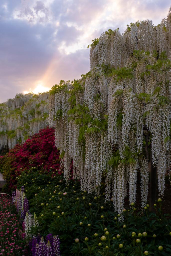 夕陽と白藤